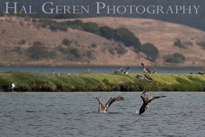 Brown Pelicans diving for food Elkhorn Slough, Moss Landing, CA 1809E-PBPD2