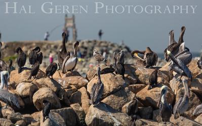 Pelicans, Cormorants, and Gulls Elkhorn Slough, Moss Landing, CA 1809E-PCAG1
