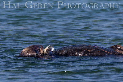 Sea Otter Eating Shell Fish Elkhorn Slough, Moss Landing, CA 1809E-SOESF3