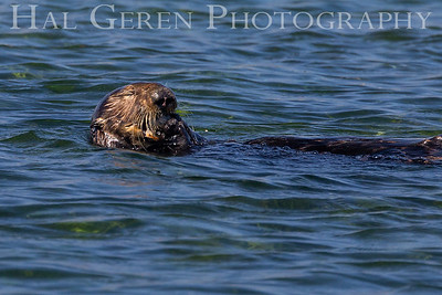 Sea Otter Eating Shell Fish Elkhorn Slough, Moss Landing, CA 1809E-SOESF2