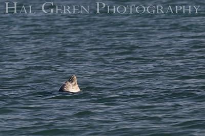 Sleeping Seal Elkhorn Slough, Moss Landing, CA 1809E-SS1