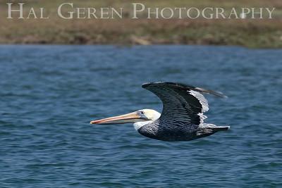 Brown Pelican Elkhorn Slough, Moss Landing, CA 1809E-PB6