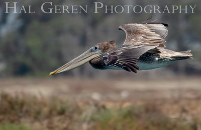 Brown Pelican  Elkhorn Slough, Moss Landing, CA 1809E-PB3