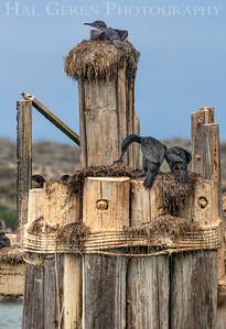 Pelicans, Cormorants, and Gulls Elkhorn Slough, Moss Landing, CA 1809E-PCAG4