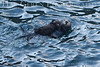 Sea Otter and Pup<br /> Point Lobos, California<br /> 0902PL-SOP4