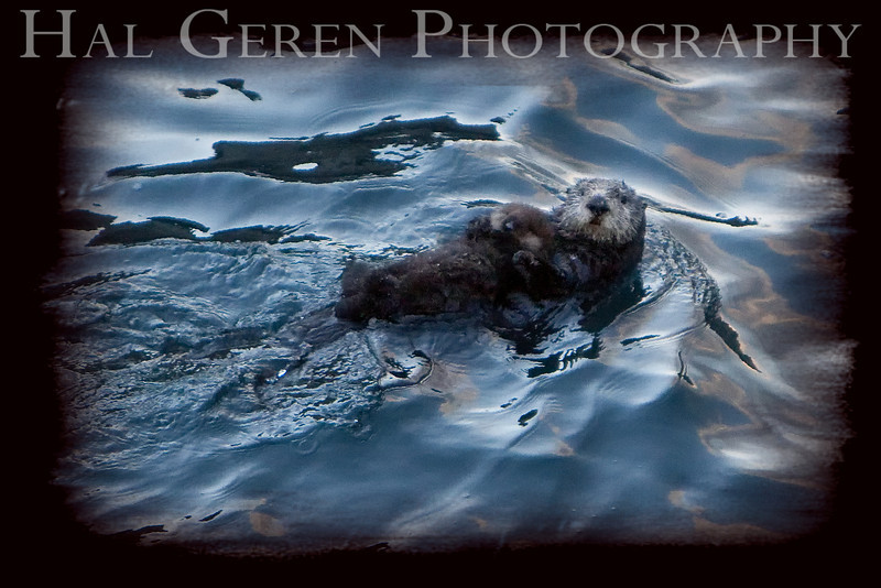 Sea Otter and Pup<br /> Point Lobos, California<br /> 0902PL-SOPF2