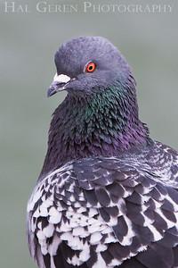 Pigeon Portrait Seacliff State Beach, California 0902S-PP1