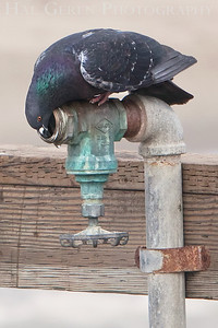 Pigeon Drink Seacliff State Beach, California 0902S-PD1