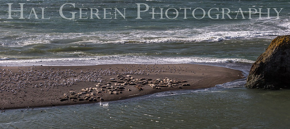 Elephant Seals and Gulls Fort Bragg, California 1701FB-SAG2