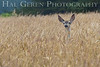 Mule Deer<br /> Cabrillo Point, California<br /> 0707M-DIG5