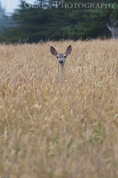 Mule Deer<br /> Point Cabrillo, California<br /> 0707M-DIG3