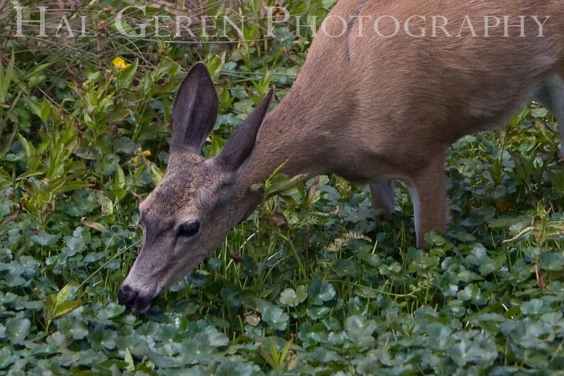 Mule Deer<br /> Point Reyes, California<br /> 0806PR-DE5