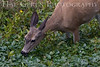 Mule Deer<br /> Point Reyes, California<br /> 0806PR-DE5