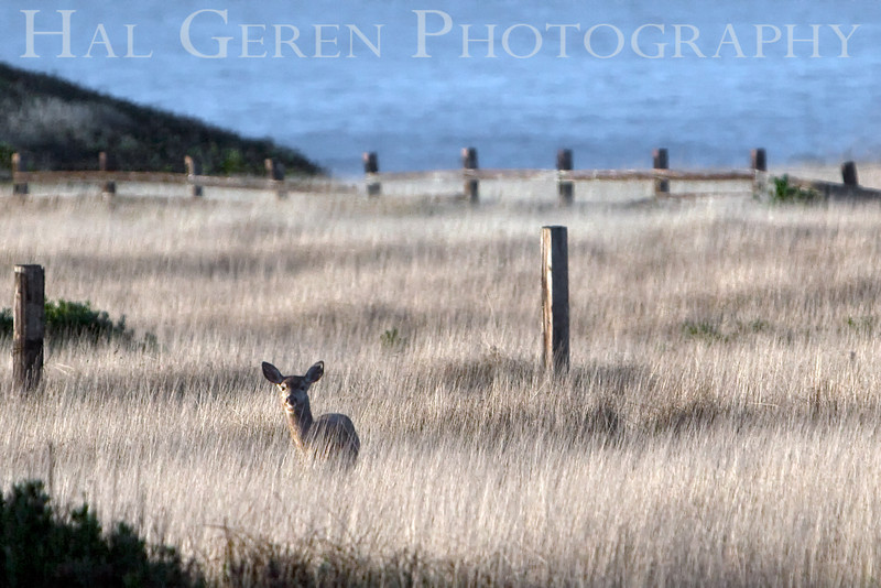 Mule Deer<br /> Point Cabrillo, California<br /> November, 2008<br /> 0811NC-MD2