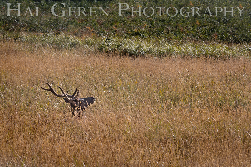 Roosevelt Elk<br /> Prairie Creek Redwoods St Park, Orick, California<br /> 1608O-RE3E1