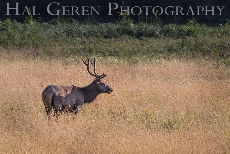 Roosevelt Elk<br /> Prairie Creek Redwoods St Park, Orick, California<br /> 1608O-RE4