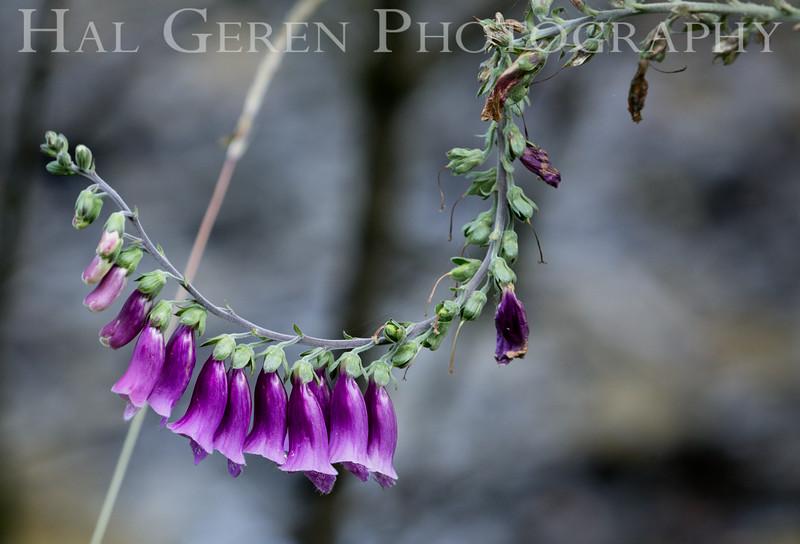 Roadside Flower<br /> Portland, Oregon<br /> 1608O-F5