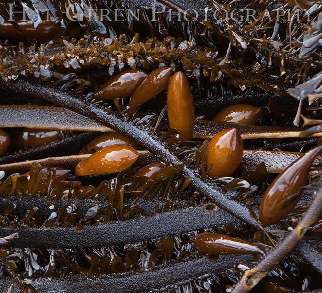 Kelp<br /> Pfeiffer Beach at Big Sur, California<br /> 1212P-K6