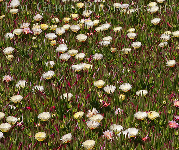 Ice Plant Duncan's Landing, California 1004PA-IC2A