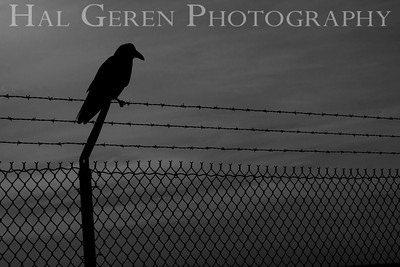 Crow on a barbed fence Fort Baker, San Francisco, California 1001S-COAF1B