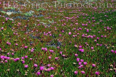 Iceplant Point Reyes, California 1105PR-I7
