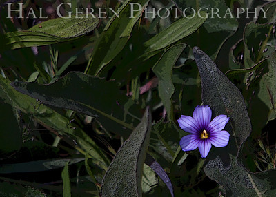 Blue Violet Point Reyes, California 1105PR-FP3