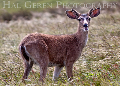 Mule Eared Deer Point Reyes, California 1105PR-MED1