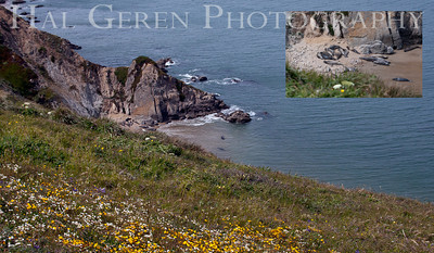 Chimney Rock Point Elephant Seals Point Reyes, California 1105PR-CRPES1A