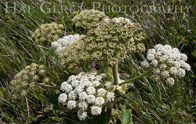 Cow Parsnip Point Reyes, California 1105PR-FCP1J Photo by Joann Geren