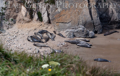Chimney Rock Point Elephant Seals Closeup Point Reyes, California 1105PR-CRPES2
