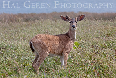 Mule Eared Deer Point Reyes, California 1105PR-MED4
