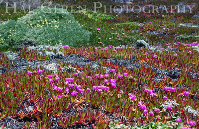 Iceplant Point Reyes, California 1105PR-I3