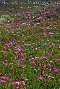 Iceplant Point Reyes, California 1105PR-I5