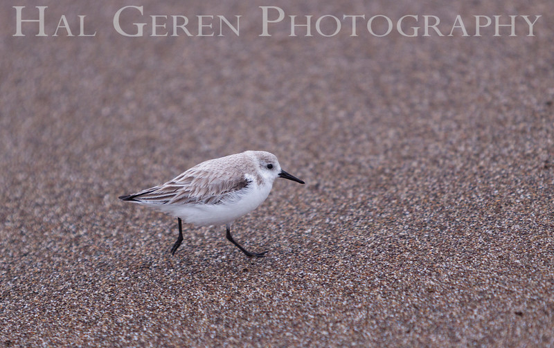 Little Stint <br /> Point Reyes, California<br /> 1303PR-LS1