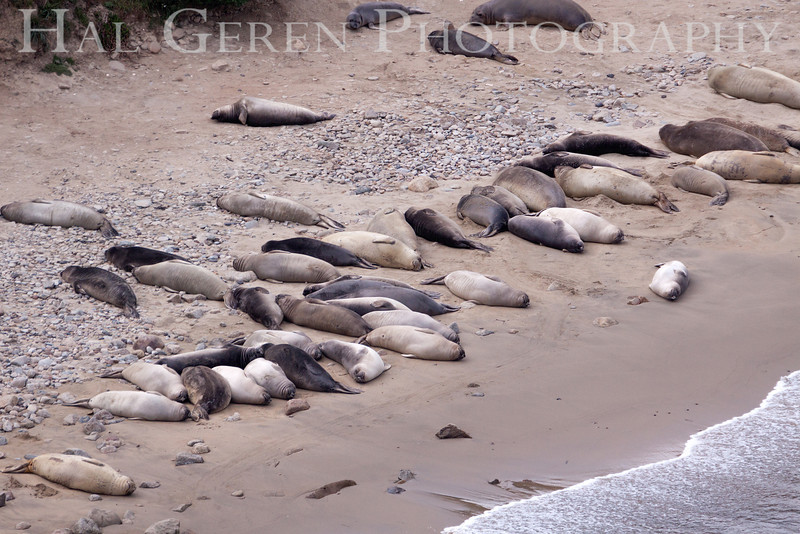 Elephant Seals<br /> Point Reyes, California<br /> 1303PR-ES7