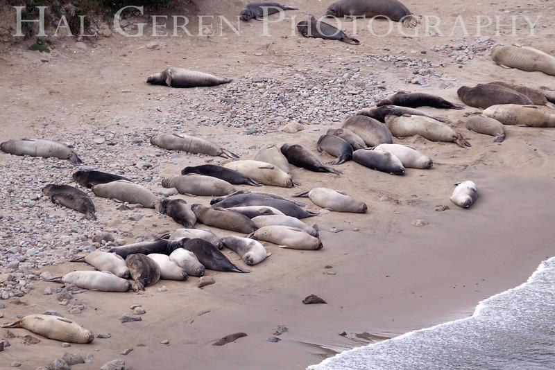 Elephant Seals<br /> Point Reyes, California<br /> 1303PR-ES7