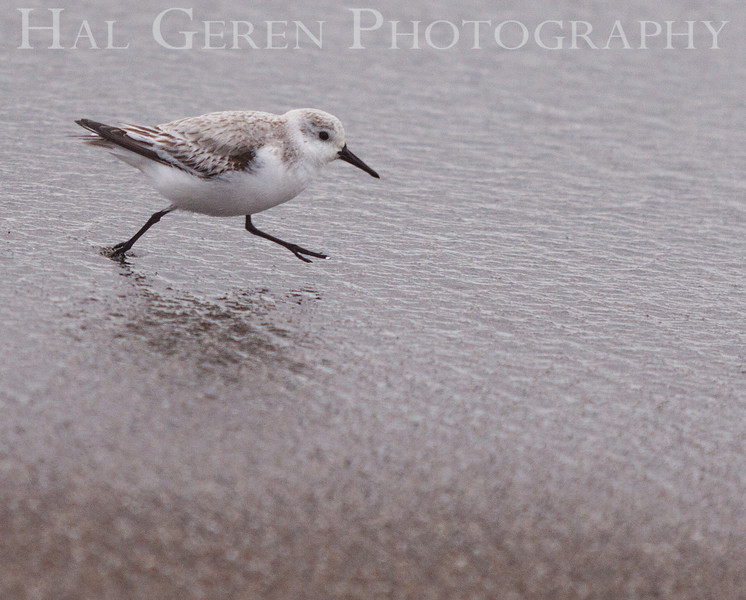 Little Stint <br /> Point Reyes, California<br /> 1303PR-LS2
