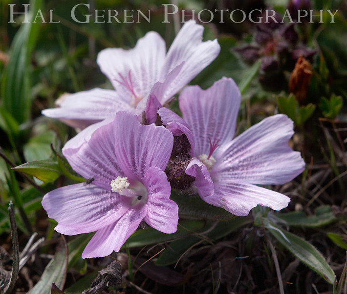 Checkerbloom<br /> Point Reyes, California<br /> 1303PR-FC2
