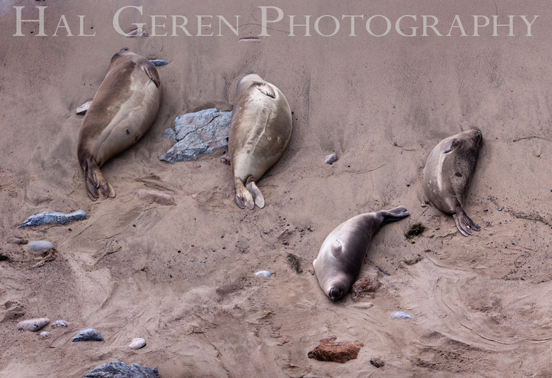 Elephant Seals<br /> Point Reyes, California<br /> 1303PR-ES4
