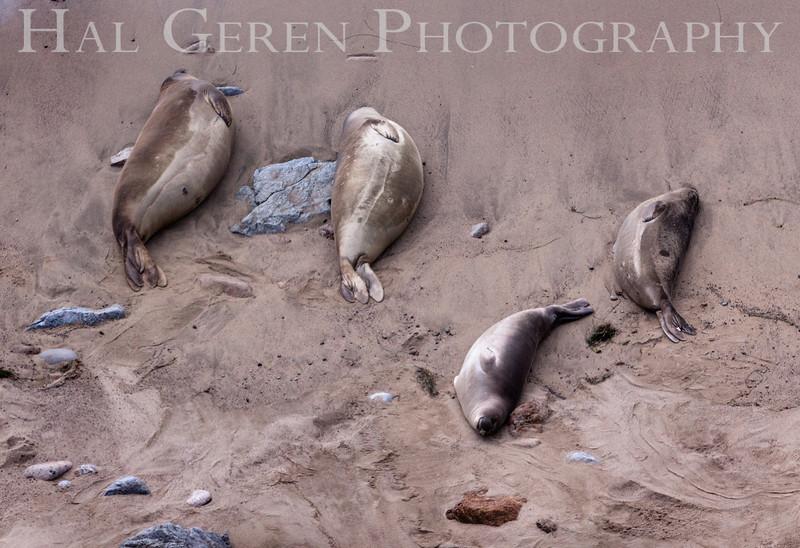 Elephant Seals<br /> Point Reyes, California<br /> 1303PR-ES4