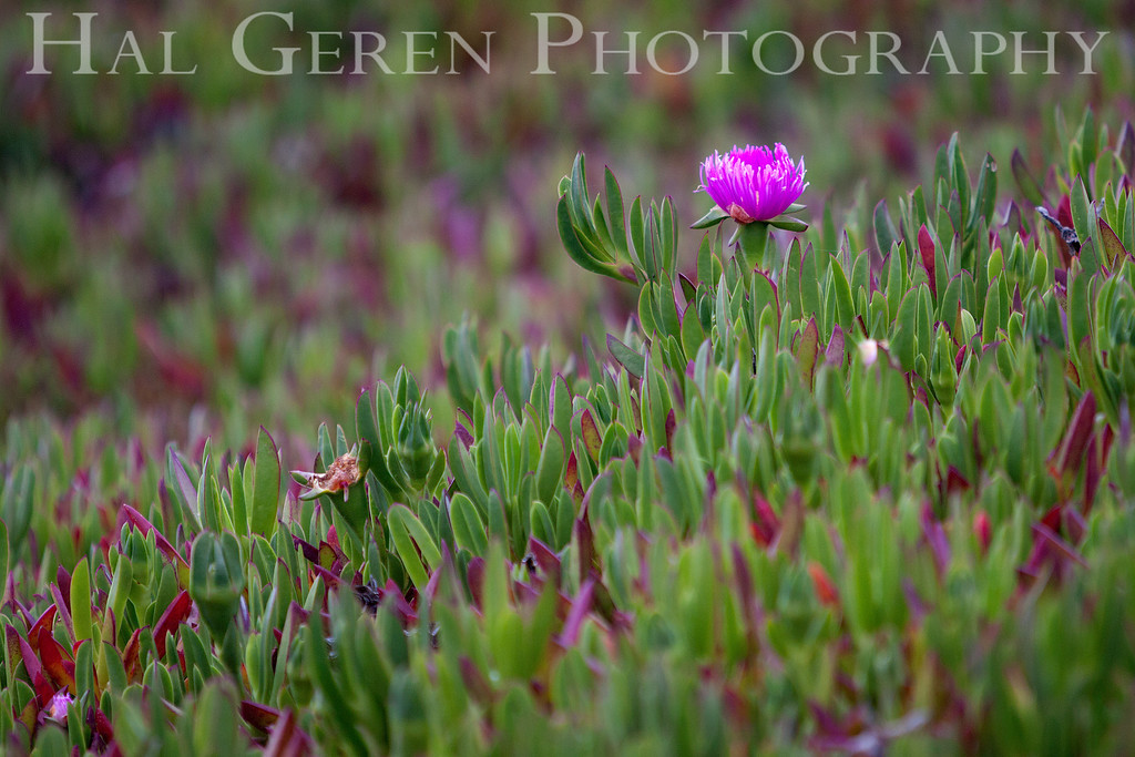 Iceplant<br /> Point Reyes, California<br /> 1303PR-FI3