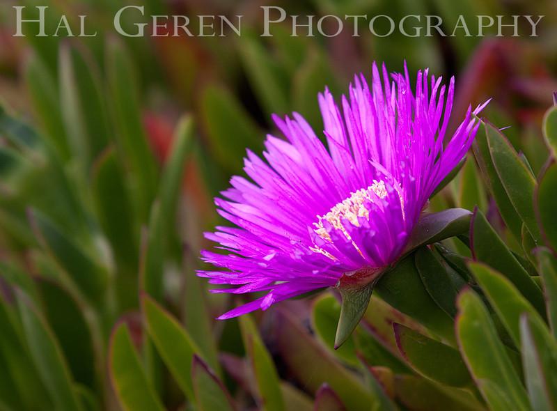 Iceplant<br /> Point Reyes, California<br /> 1303PR-FI4