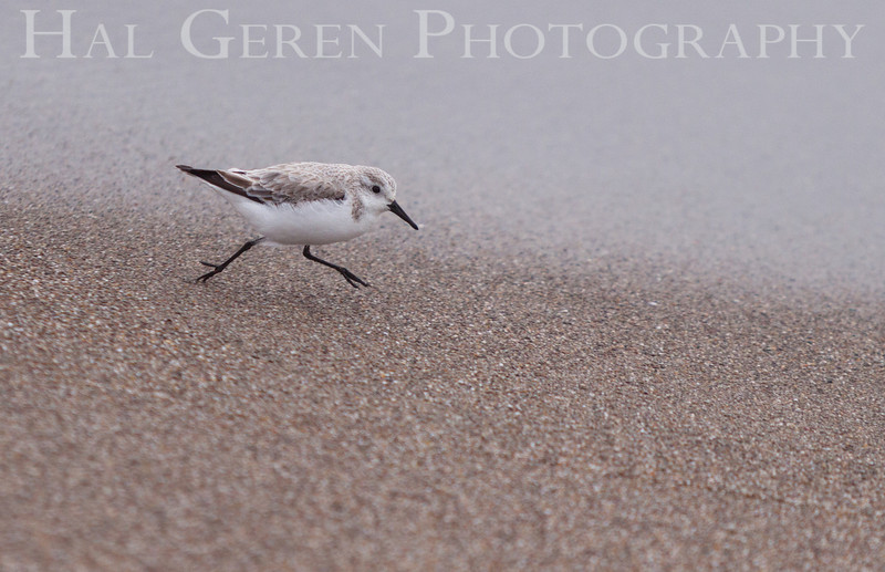 Little Stint <br /> Point Reyes, California<br /> 1303PR-LS3