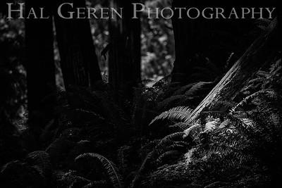 Fern Undergrowth Humboldt, California 1808T-F3BW1