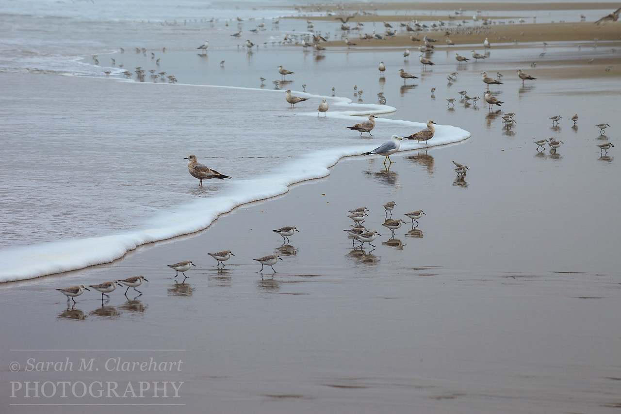 Sandpipers and Seagulls