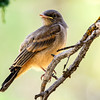 A juvenile Say's phoebe at the Sage Hen Rest Area east of Riley, Oregon, on Interstate 20.