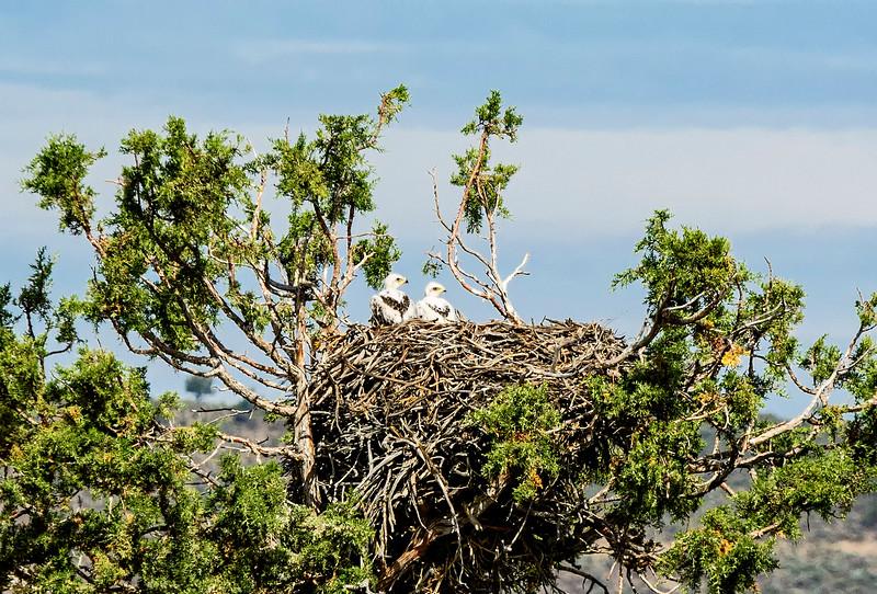 Juvenile ferruginous hawks