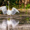 An egret stretches its wings on Benson Pond in the Malheur National Wildlife Refuge.
