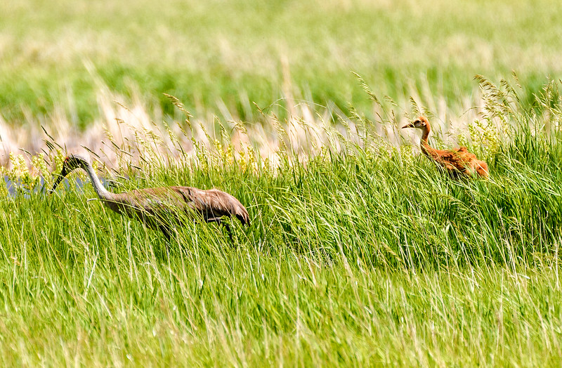 An adult sandhill crane strolls with a colt in tow through the marsh at the Malheur National Wildlife Refuge.