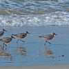 Red Knots out for a stroll.